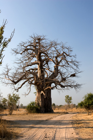 Baobab Senegel